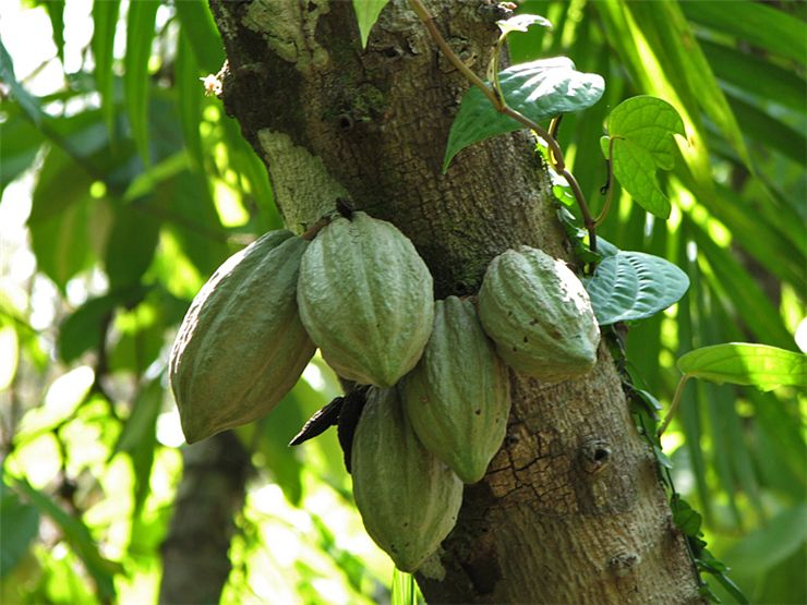 Picture - Cocoa Pods